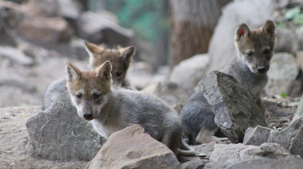 Celebran 98 años Zoológicos con 46 nacimientos en 2021