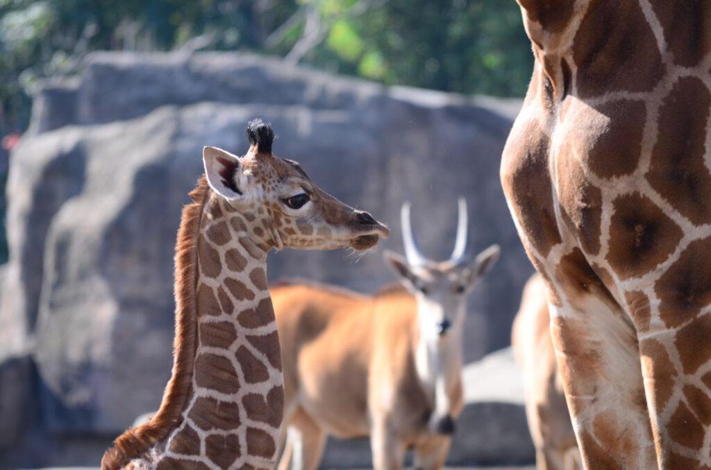 Elige el nombre de la jirafa nacida en Zoológico de Aragón
