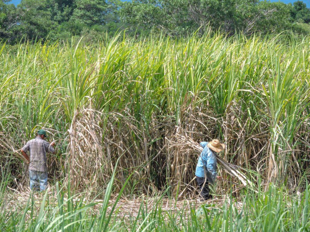 Crece producción de caña y azúcar de la zafra 2020/2021