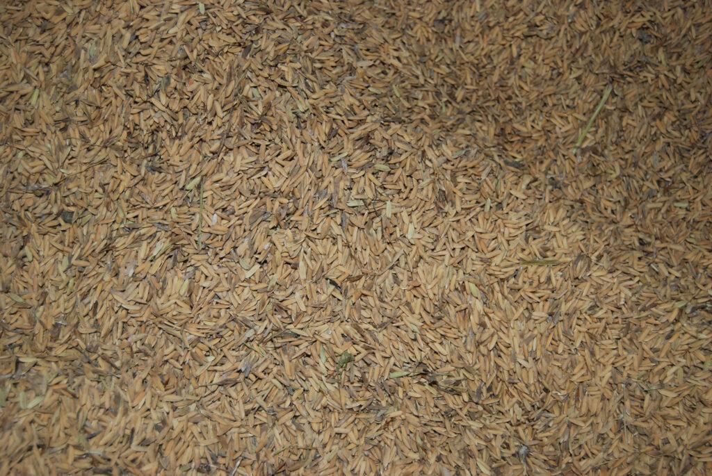 Crecerá 15 por ciento la producción de arroz