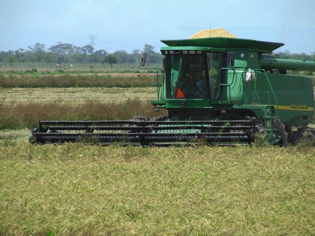 Desarrollan variedades de arroz resistentes a sequía