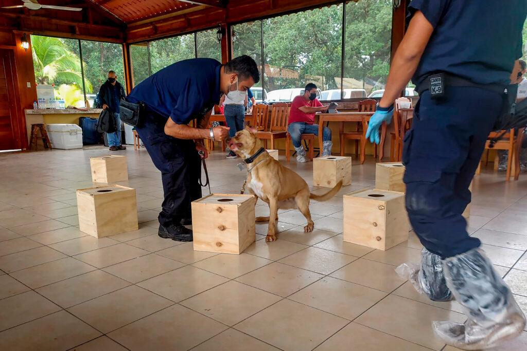 Erradicarán el caracol gigante africano de Centroamérica