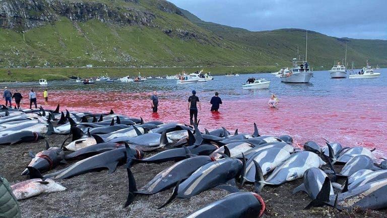 Sangrienta cacería anual de delfines en las islas Feroe