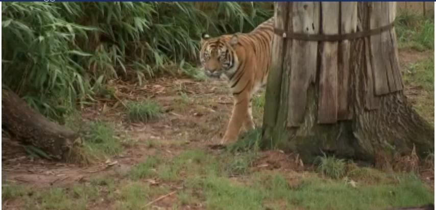 Felinos de Zoo de Washington son tratados por COVID-19