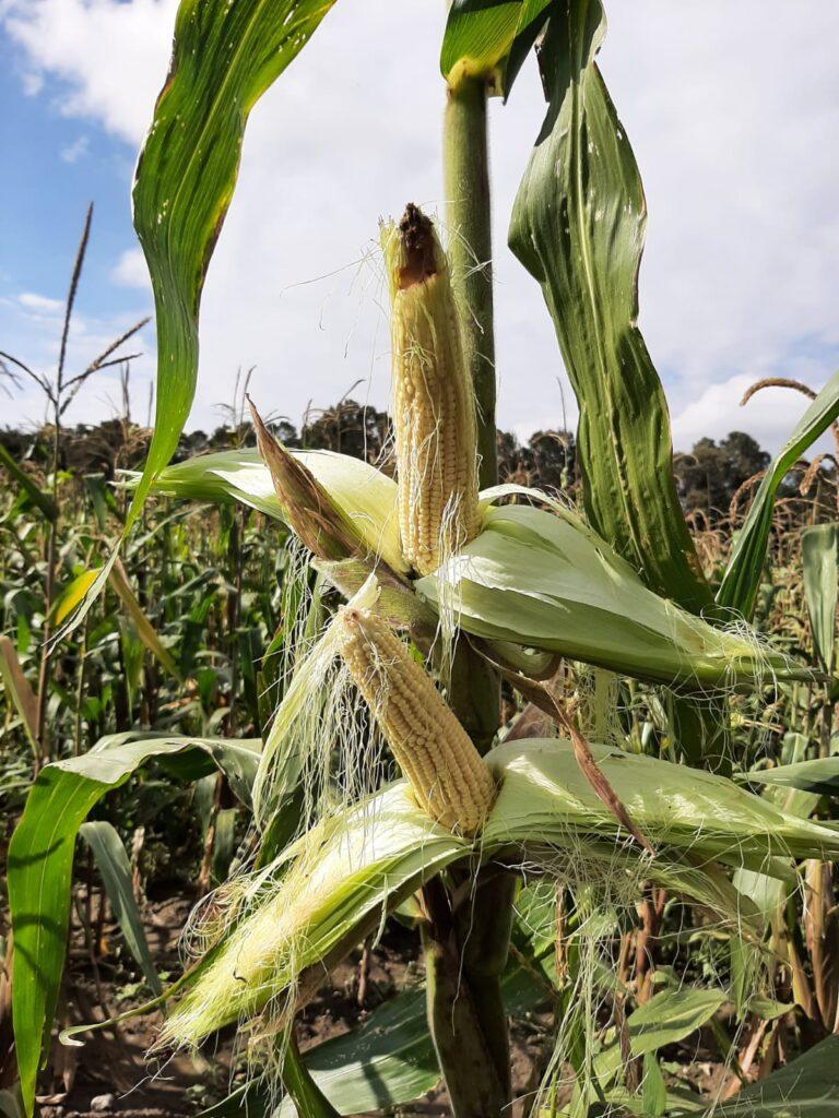 Desarrollan variedades mejoradas de maíz palomero